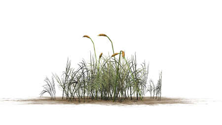 bulrush: cattail plants separated on white background Stock Photo