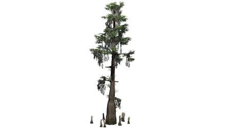 대머리 사이프러스 나무 - 흰색 배경에 구분 스톡 콘텐츠