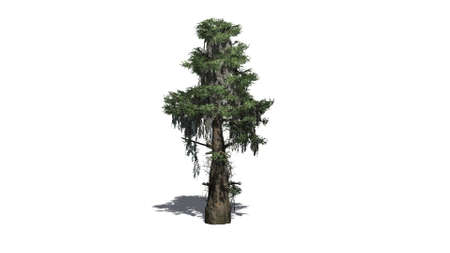 cypress tree: bald cypress tree - separated on white background Stock Photo