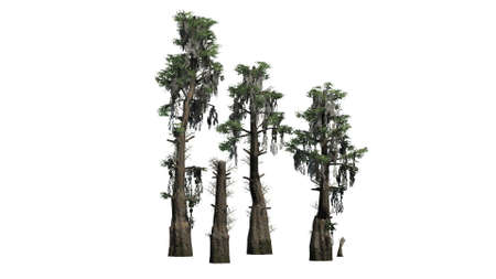 bald cypress trees - separated on white background