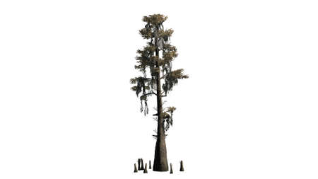 cypress tree: bald cypress tree on white background Stock Photo