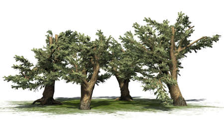 Cedar of Lebanon tree cluster - isolated on white background Stock Photo