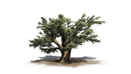 Cedar of Lebanon tree - isolated on white background