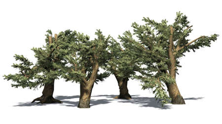 several different Cedars of Lebanon trees - isolated on white background