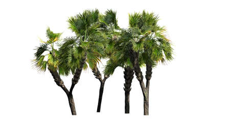 palmetto: Palm tree - separated on white background
