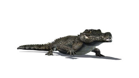 crocodile - separated on white background