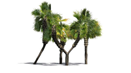 palmtrees: Palmetto cluster - separated on white background Stock Photo