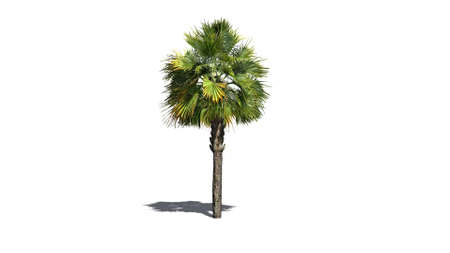 separated: palm tree - separated on white background Stock Photo