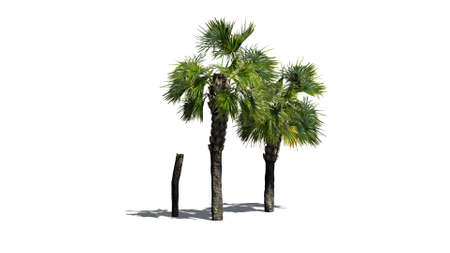 palmtrees: palm tree - separated on white background Stock Photo