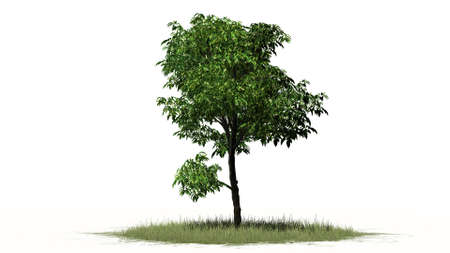 separated: Orange tree - separated on white background