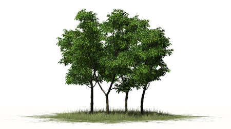 separated: Orange trees - separated on white background