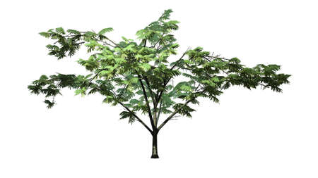 mimosa: Mimosa tree - separated on white background