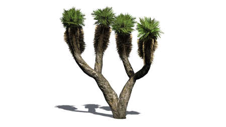 canary islands: Dragon Tree - separated on white background
