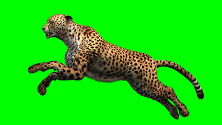Cheetah - Green Screen