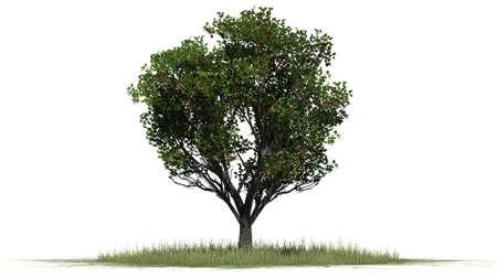 Apfelbaum - auf weißem Hintergrund getrennt Standard-Bild - 43365602