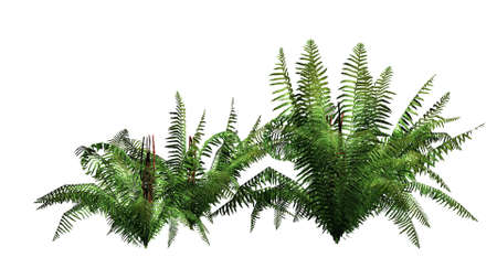 separated: fern  - separated on white background
