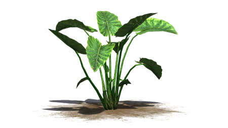 jungle plants: Elephant ear plant - separated on white background