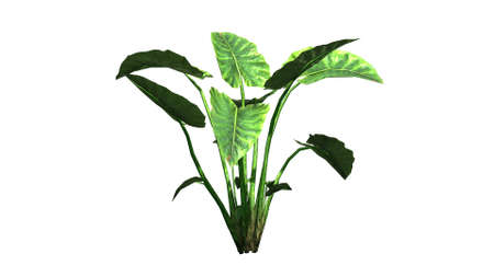 separated: Elephant ear plant - separated on white background