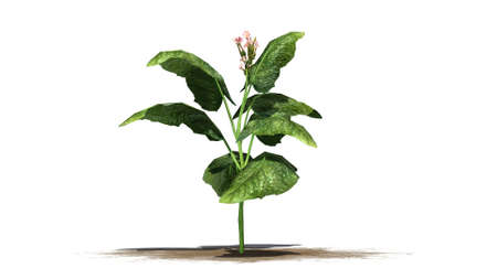 separated: tabacco plant - separated on white background