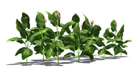 tabacco plant - separated on white background