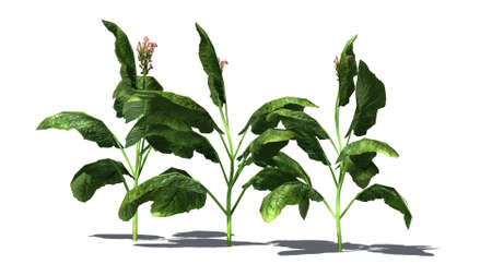 tabacco: tabacco plant - separated on white background