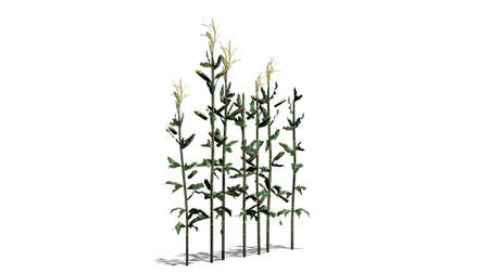 corn stalk: corn stalks - separated on white background