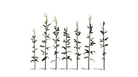 corn stalk: corn stalks - separated on white background
