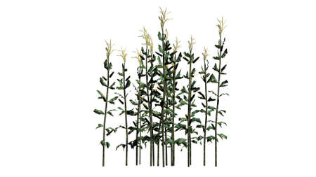 cornfield: corn stalks - separated on white background