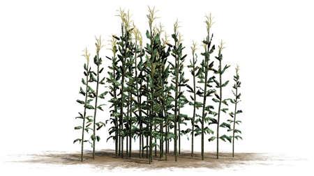 stalks: corn stalks - separated on white background