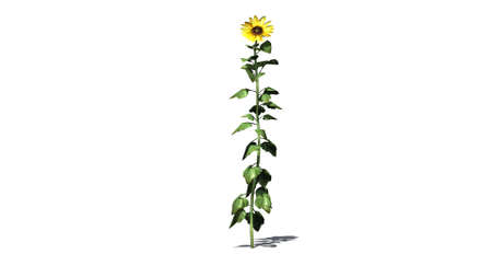 separated: sunflower - separated on white background