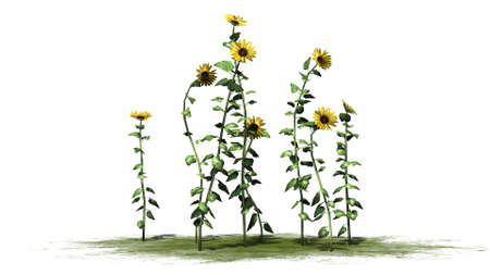 separated: sunflowers - separated on white background