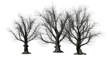 American Beech tree cluster winter - isolated on white background