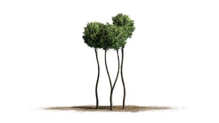 boxwood: Boxwood topiary - isolated on white background Stock Photo