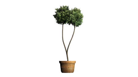 topiary: Boxwood topiary - isolated on white background Stock Photo