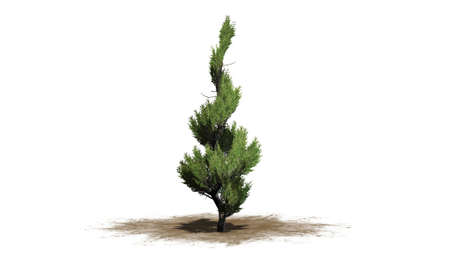 topiary: Juniper Topiary - isolated on white background