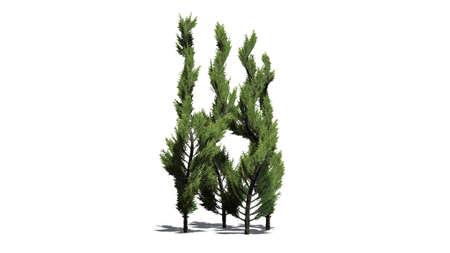 enebro: Juniper Topiary - aislado en fondo blanco Foto de archivo