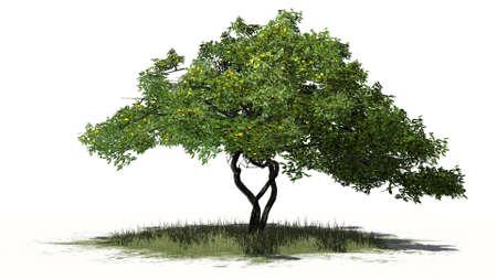 lemon tree fruit  - isolated on white background