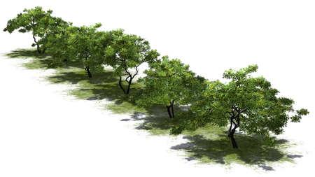 arboles frutales: limón árboles de fruta - aislados en fondo blanco