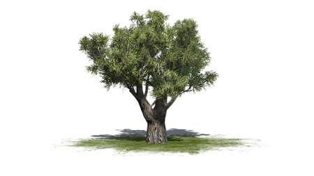 Afrikaanse olijfboom geïsoleerd op een witte achtergrond Stockfoto