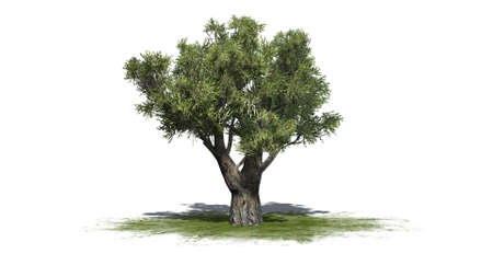 African olive tree isolated on white background Archivio Fotografico