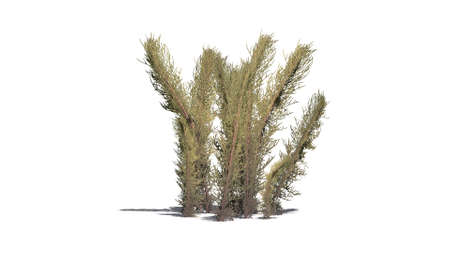 Dark tumble grass plants - isolated on white background