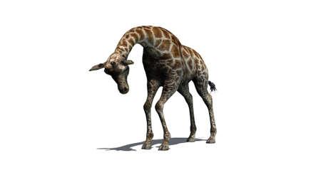giraffe - isolated on white background Archivio Fotografico - 105744869