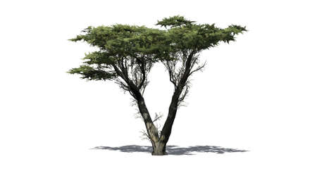 Monterey Cypress - isolated on white background