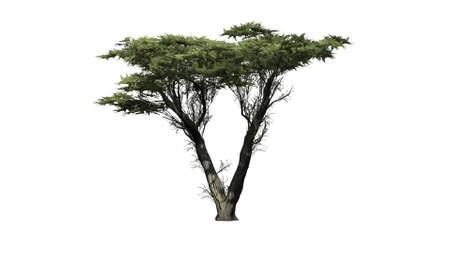 Monterey Cypress - isolé sur fond blanc Banque d'images