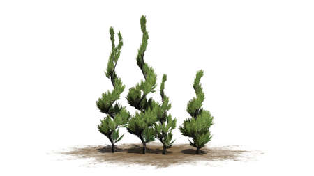 Juniper topiary tree cluster - isolated on white background