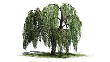 Weeping willow tree - isolated on white background Stock Photo