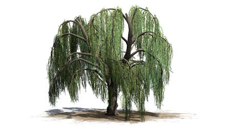 Weeping willow tree - isolated on white background 스톡 콘텐츠