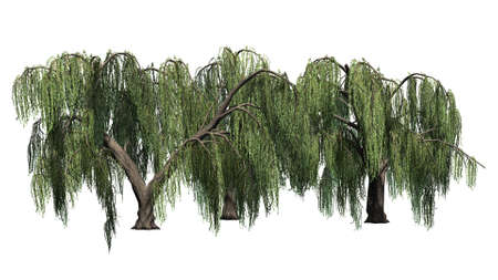 several different weeping willow trees - isolated on white background Banco de Imagens