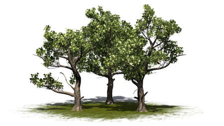 several american sycamore trees on a green area - isolated on white background