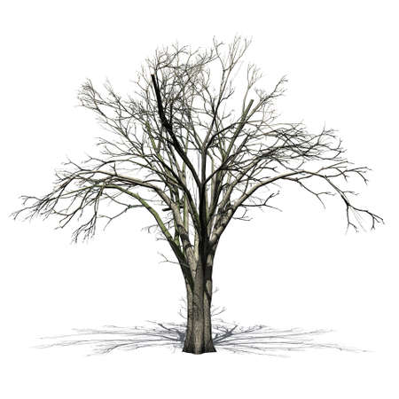 American elm tree in winter with shadow on the floor - isolated on white background